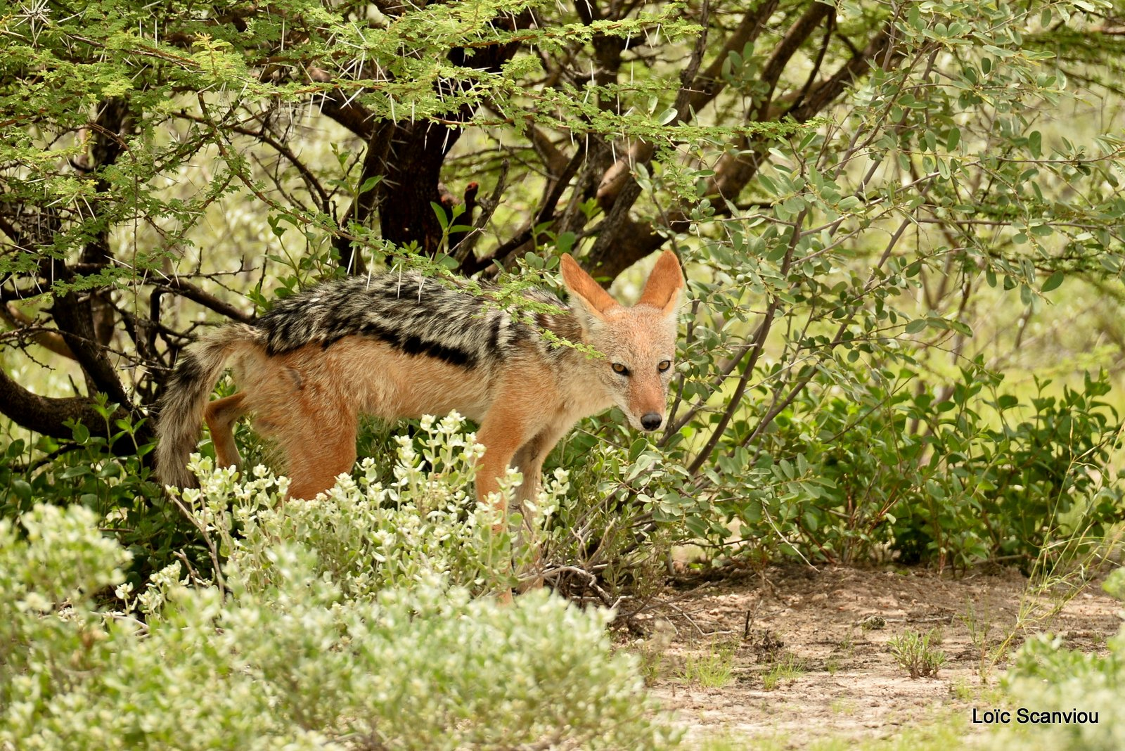 Chacal à chabraque/Black-backed Jackal (10)