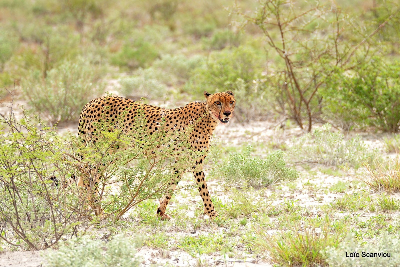 Guépard/Cheetah (3)