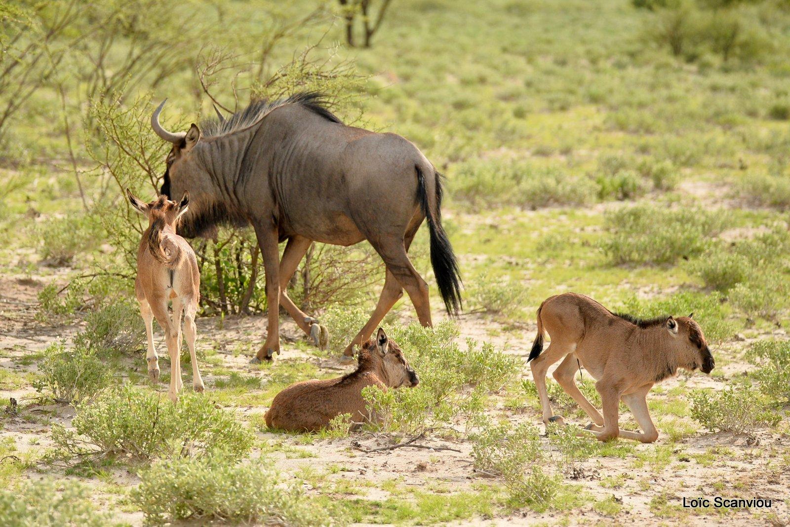 Gnou bleu/Wildebeest (4)