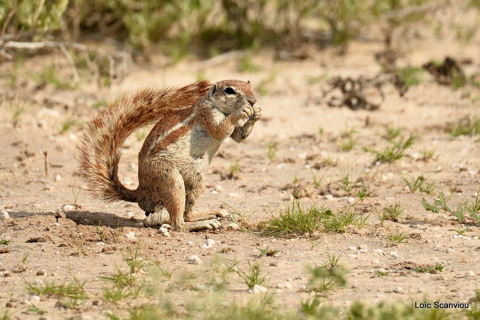 Écureuil terrestre du Cap/Cape Ground Squirrel (6)