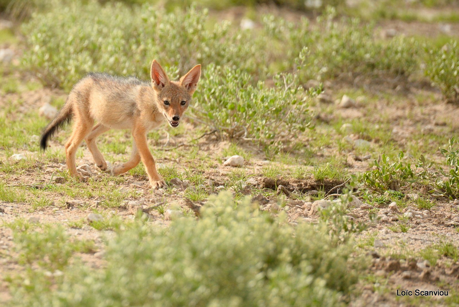 Chacal à chabraque/Black-backed Jackal (11)