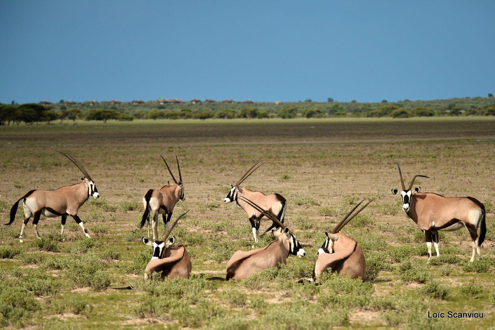 Oryx gazelle/Gemsbok (17)