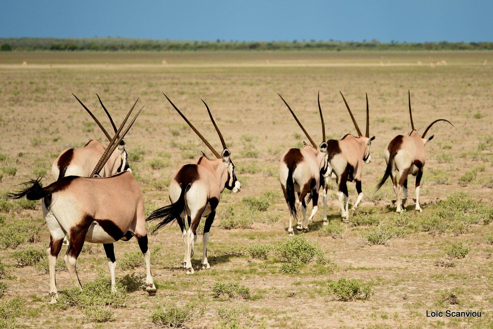 Oryx gazelle/Gemsbok (18)