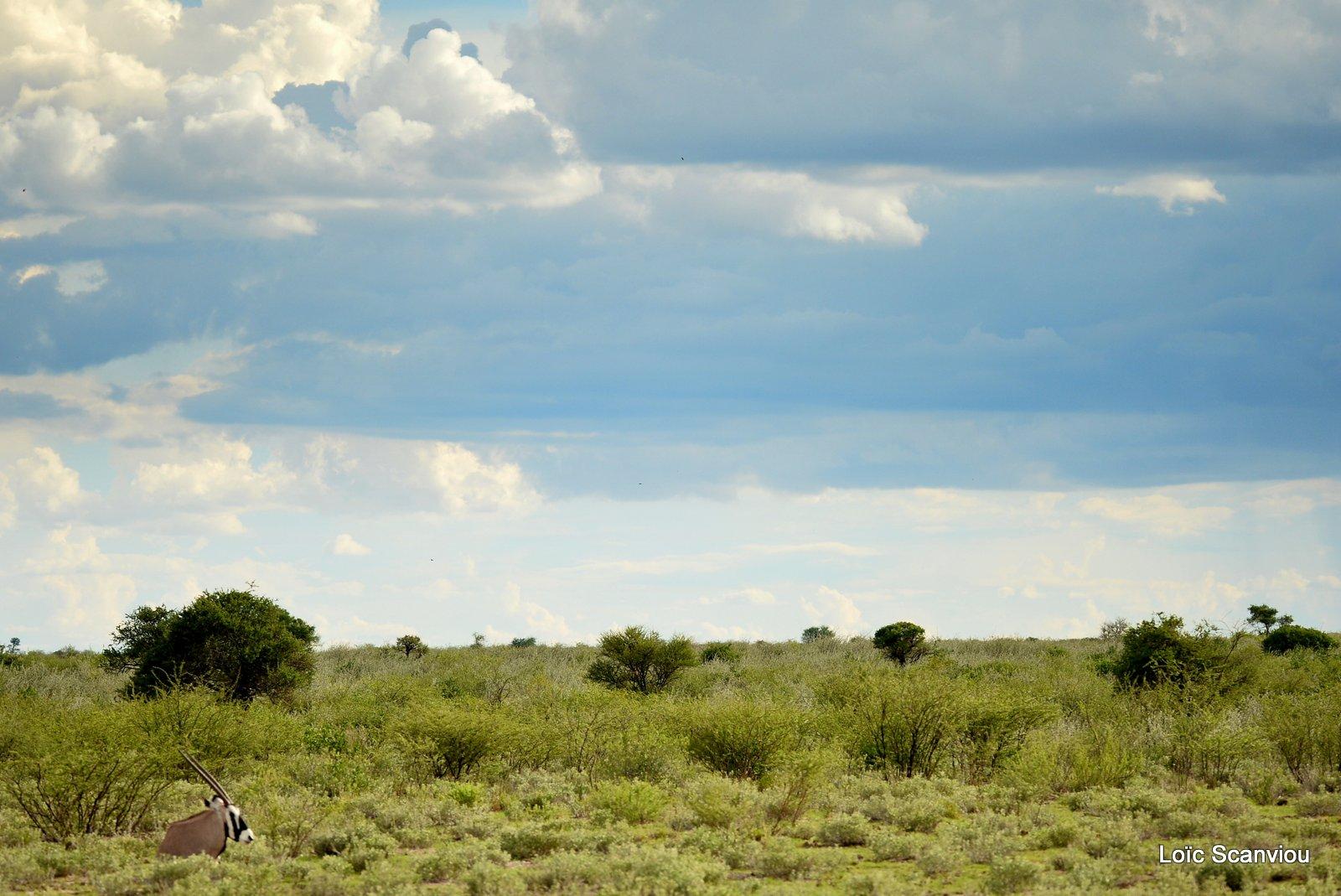 Oryx gazelle/Gemsbok (19)