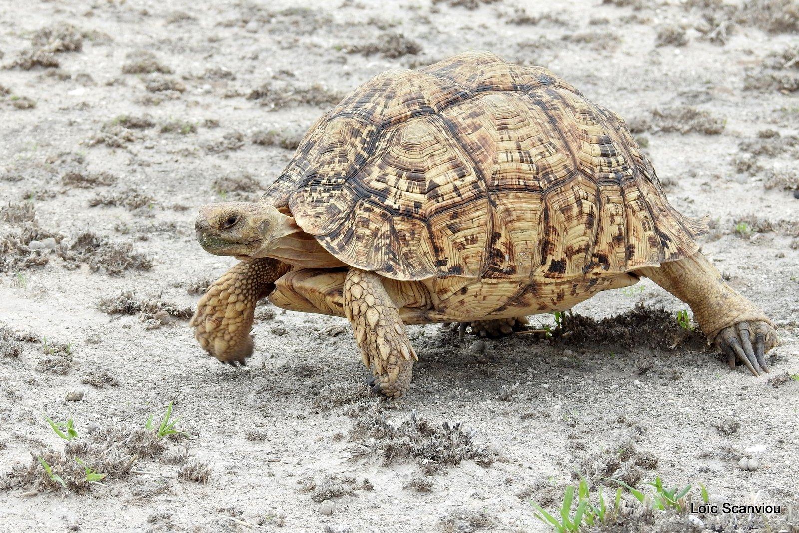 Tortue Lopard/Leopard Tortoise (2)