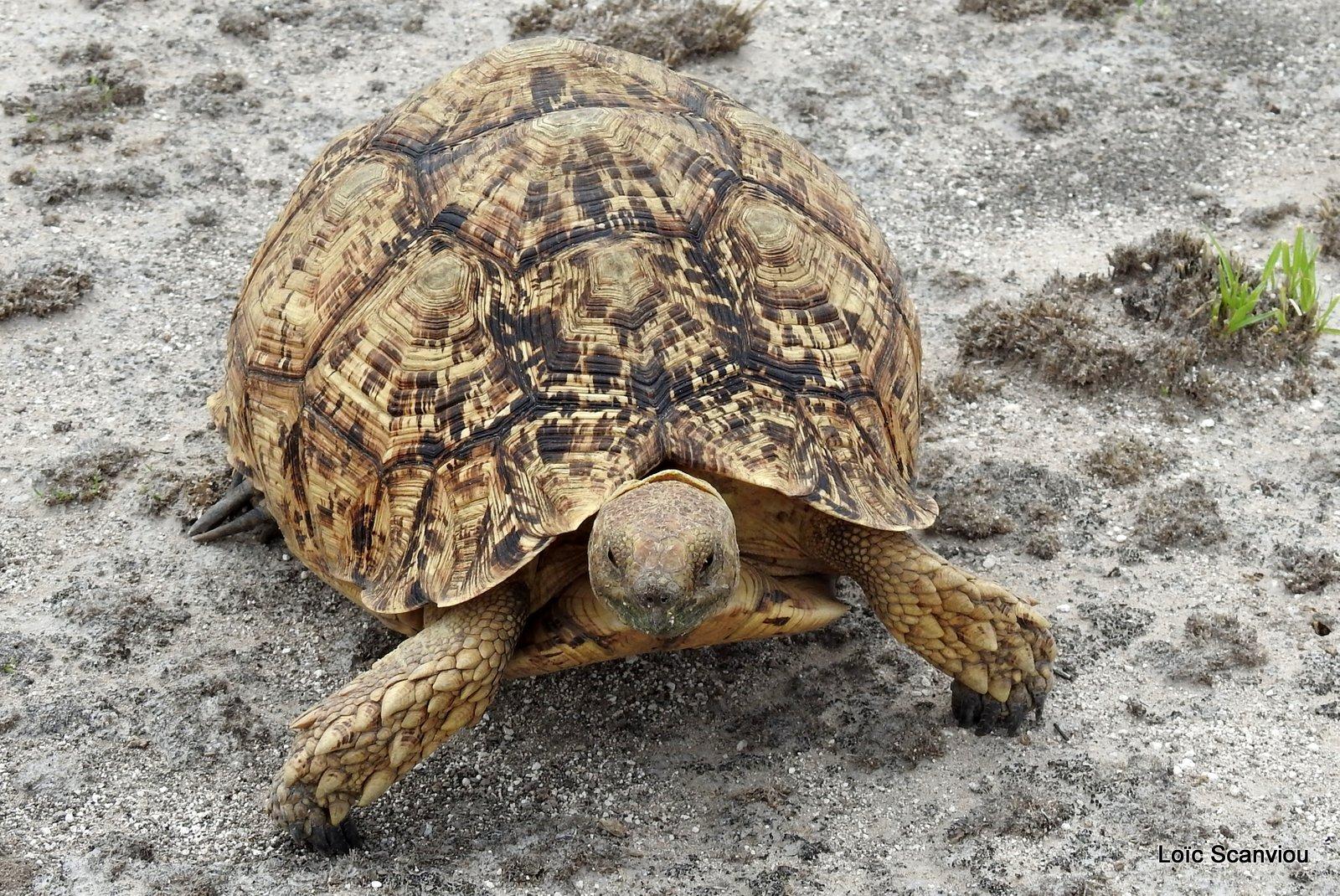 Tortue Lopard/Leopard Tortoise (3)