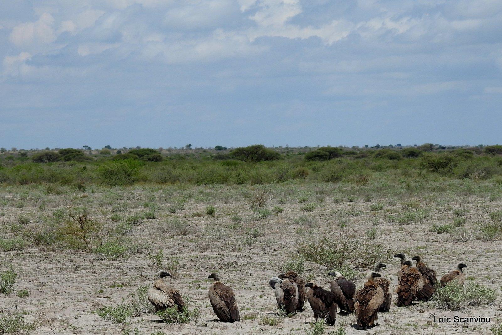 Vautour africain/White-backed Vulture (4)