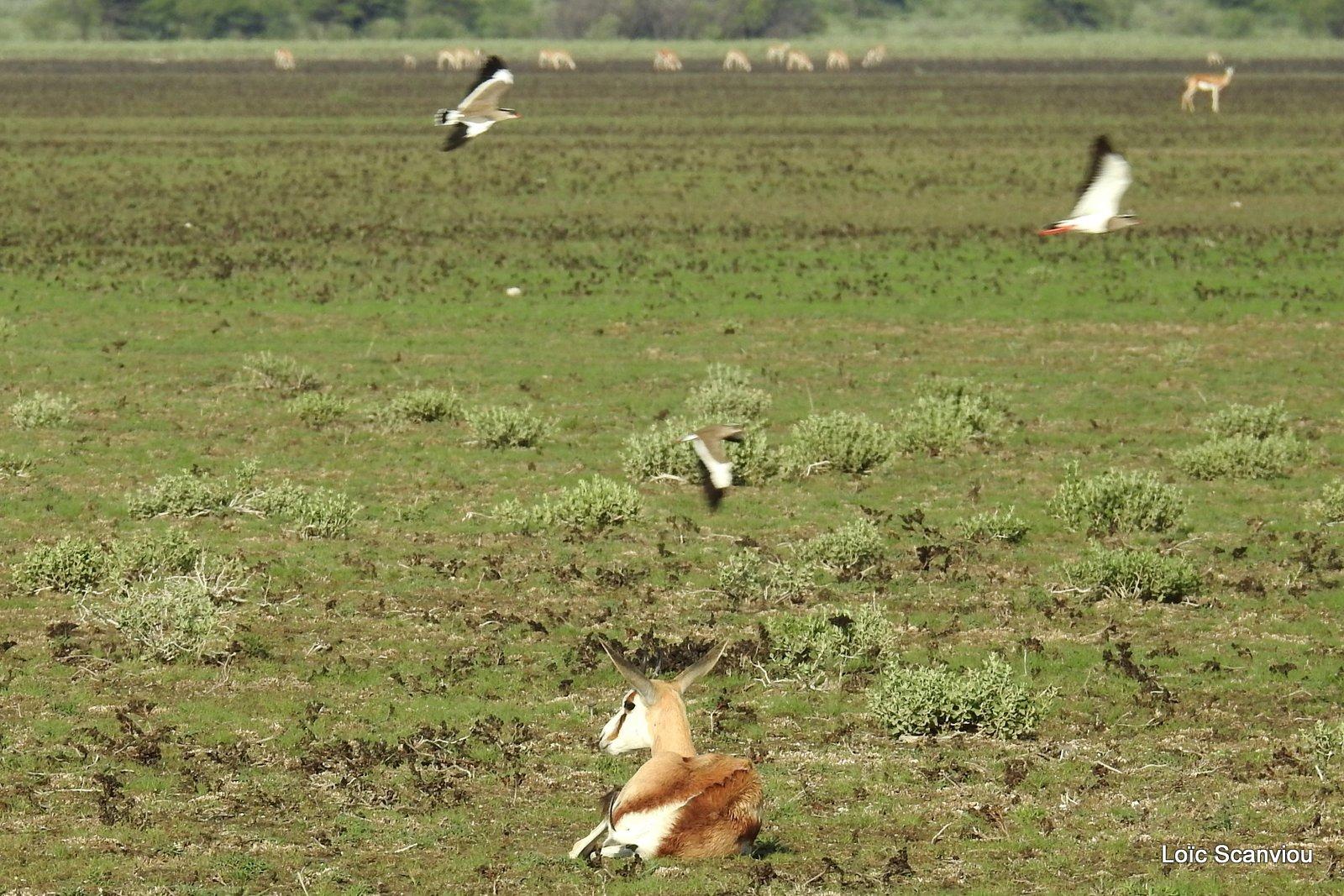 Springbok (16)