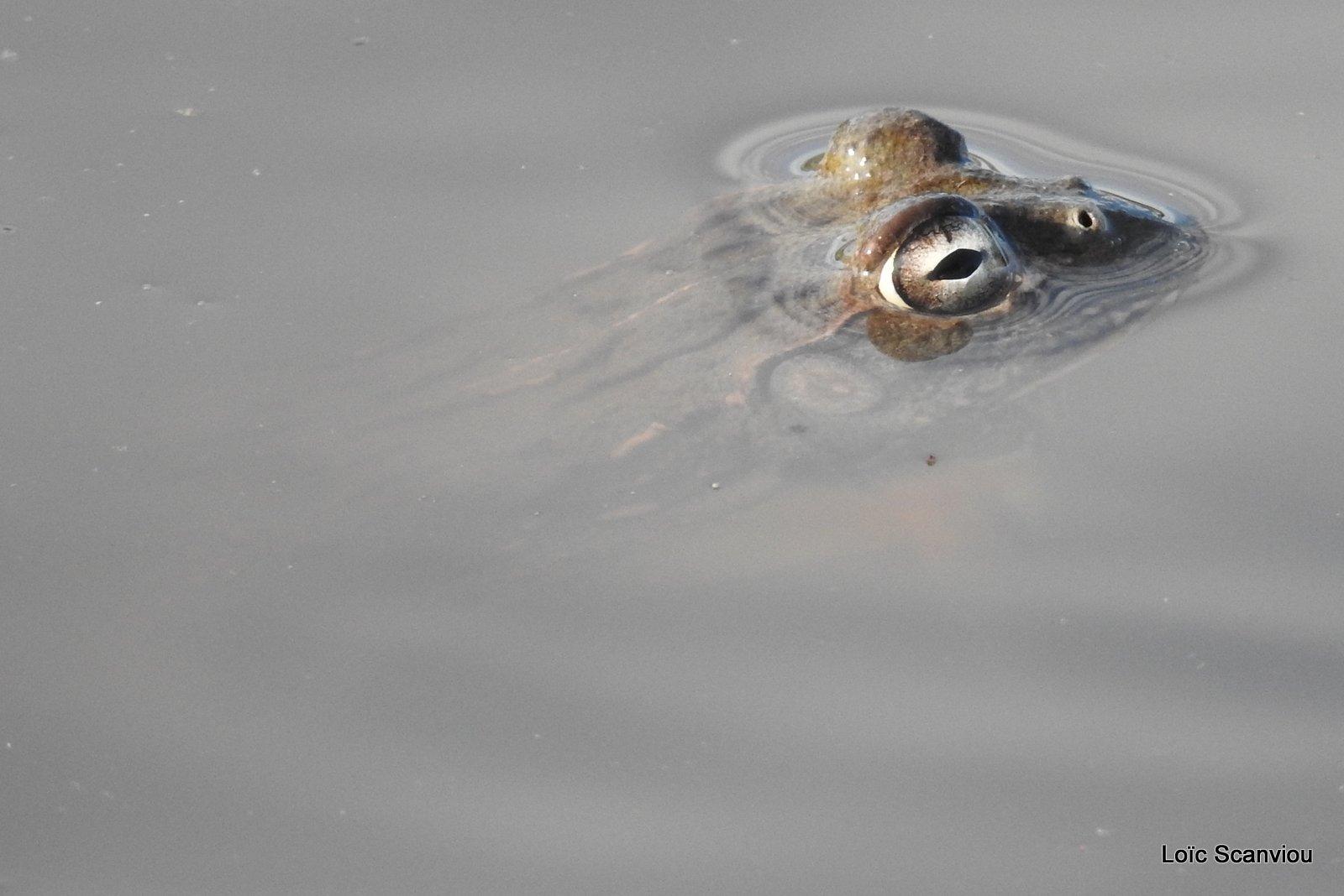 Grenouille taureau africaine/African Bullfrog (10)