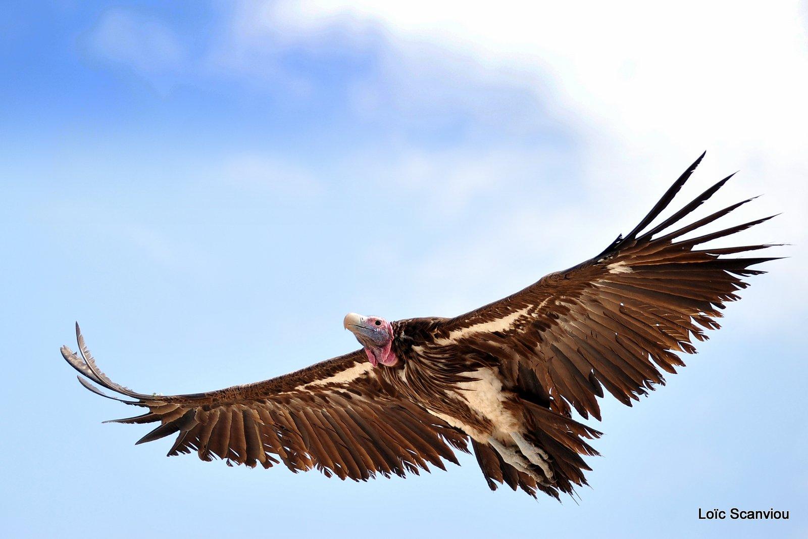 Vautour oricou/Lappet-faced Vulture (2)