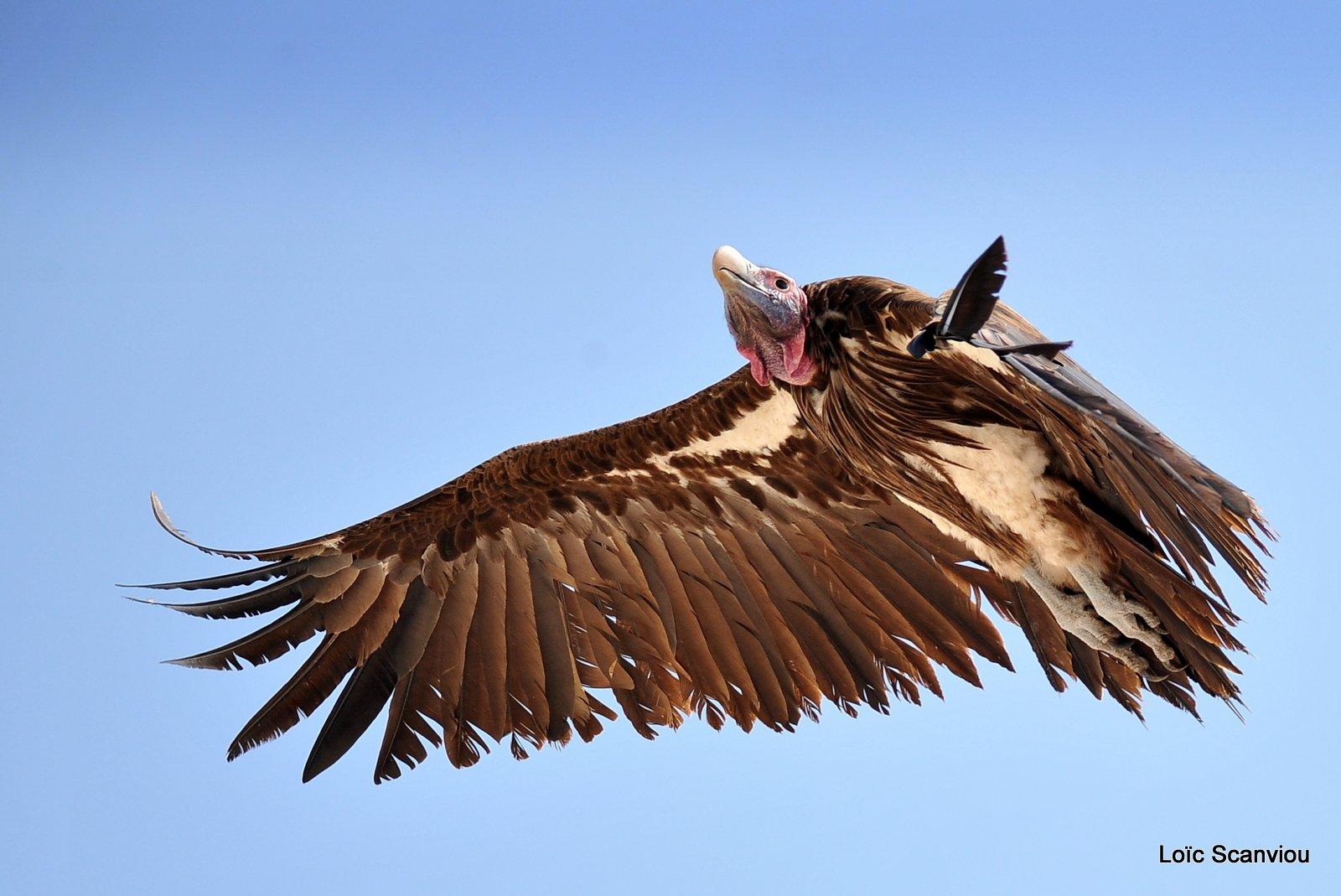 Vautour oricou/Lappet-faced Vulture (3)