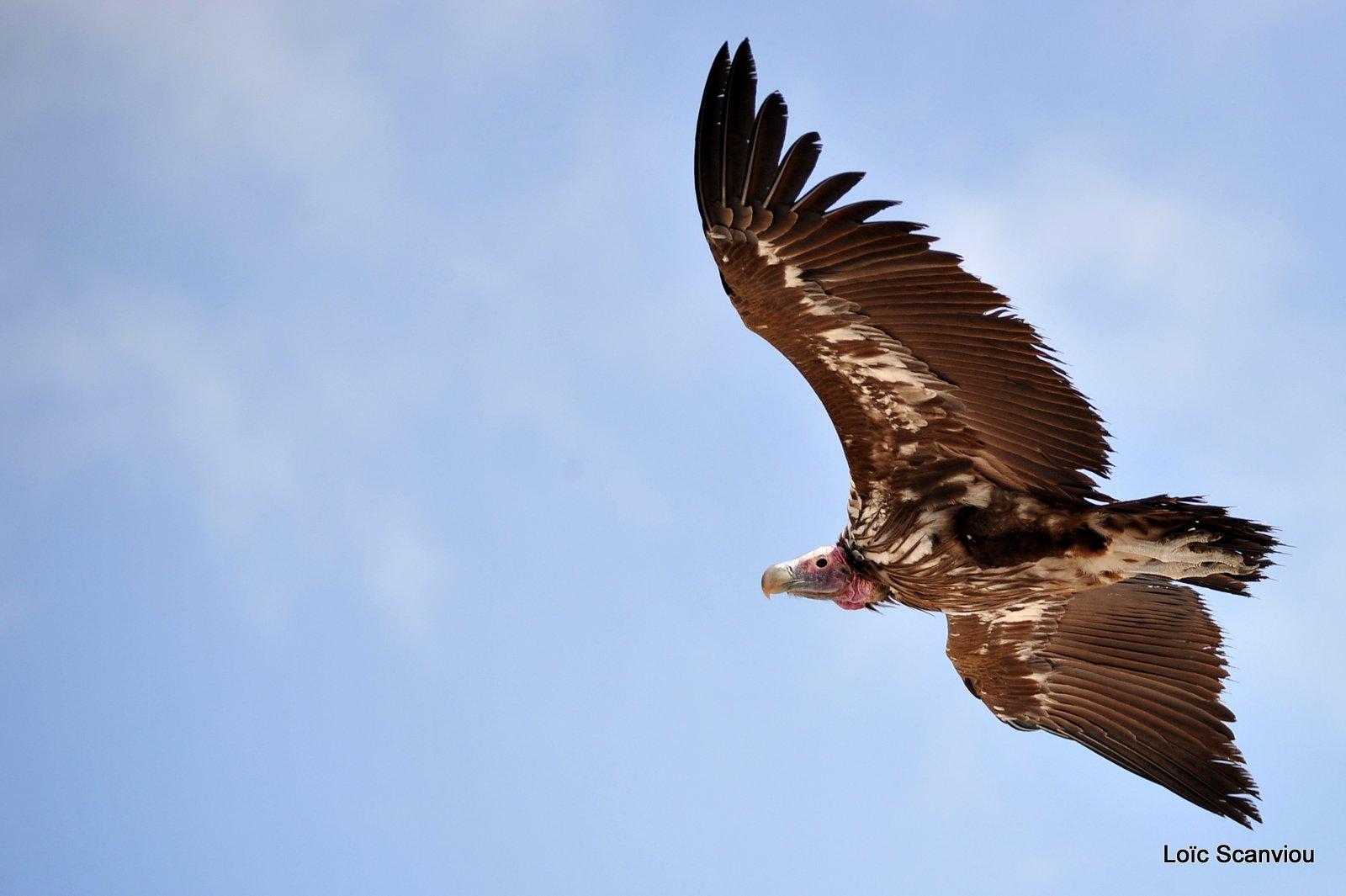 Vautour oricou/Lappet-faced Vulture (5)