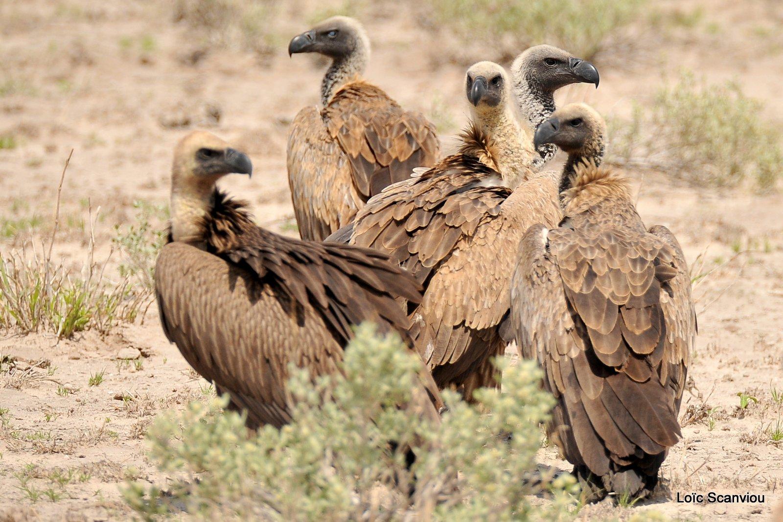 Vautour africain/White-backed Vulture (2)