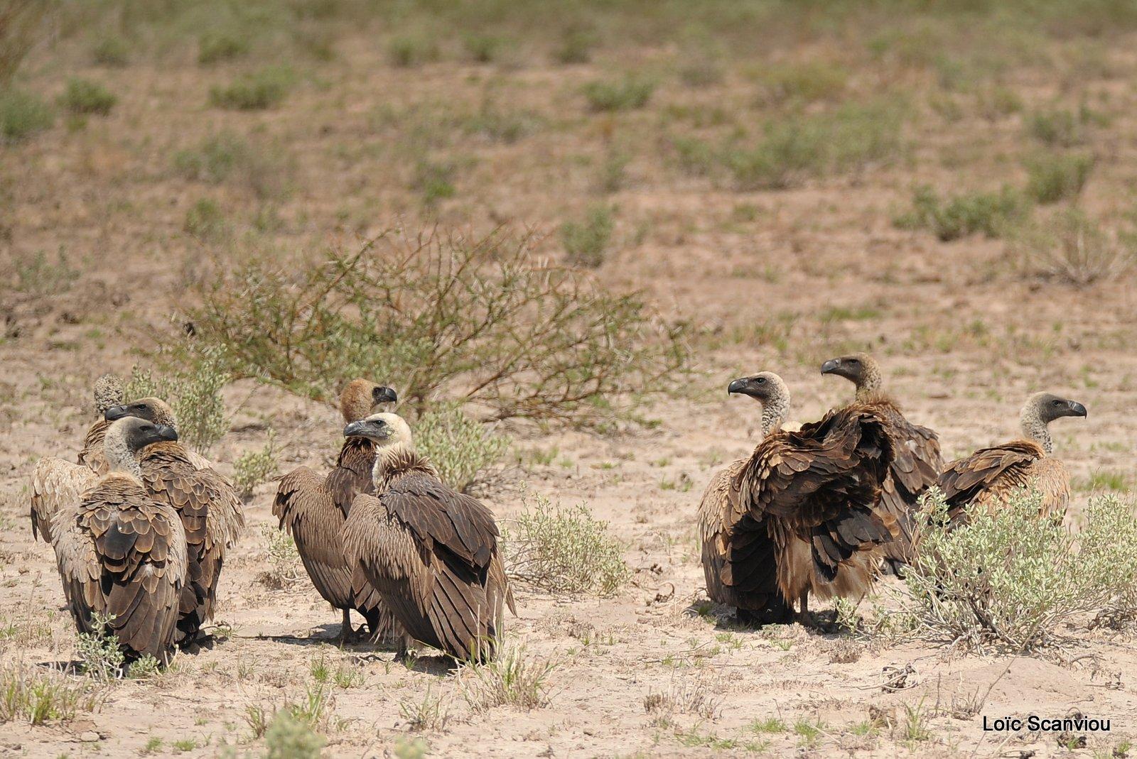 Vautour africain/White-backed Vulture (3)