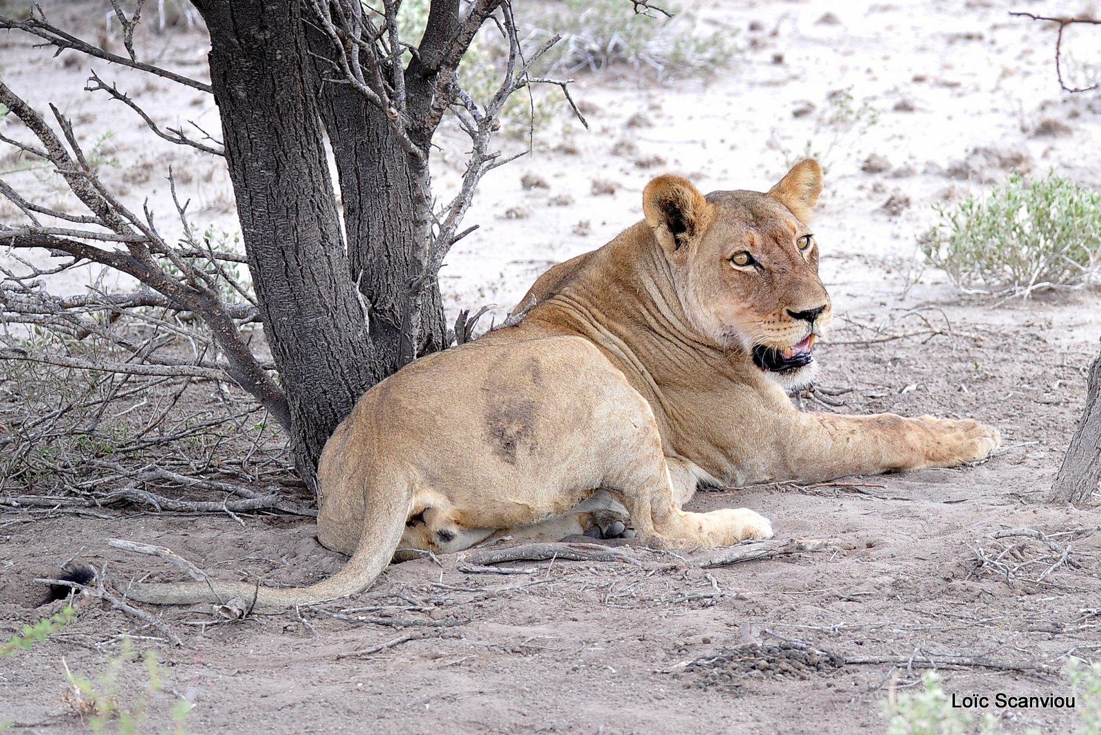 Lionne/Lioness (7)