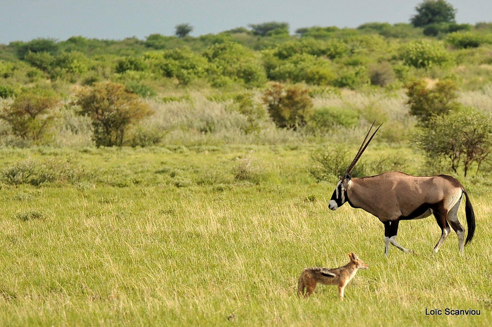 Chacal et oryx/Jackal and Gemsbok (1)