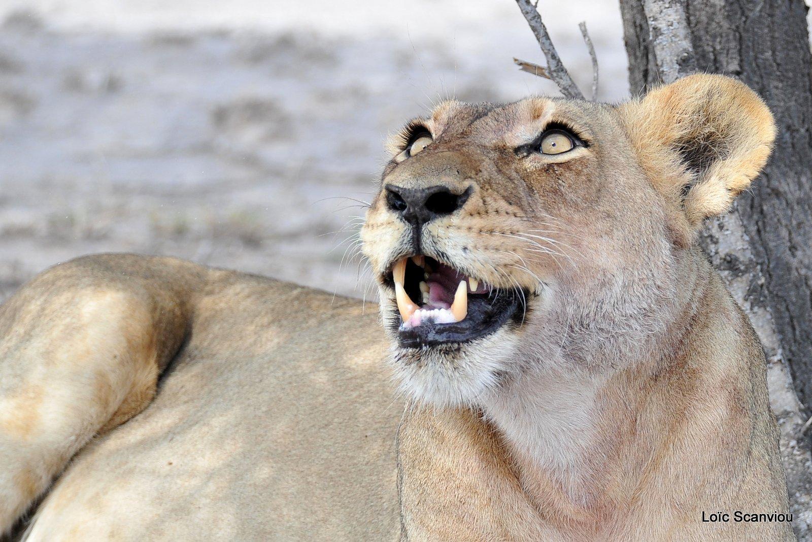 Lionne/Lioness (4)