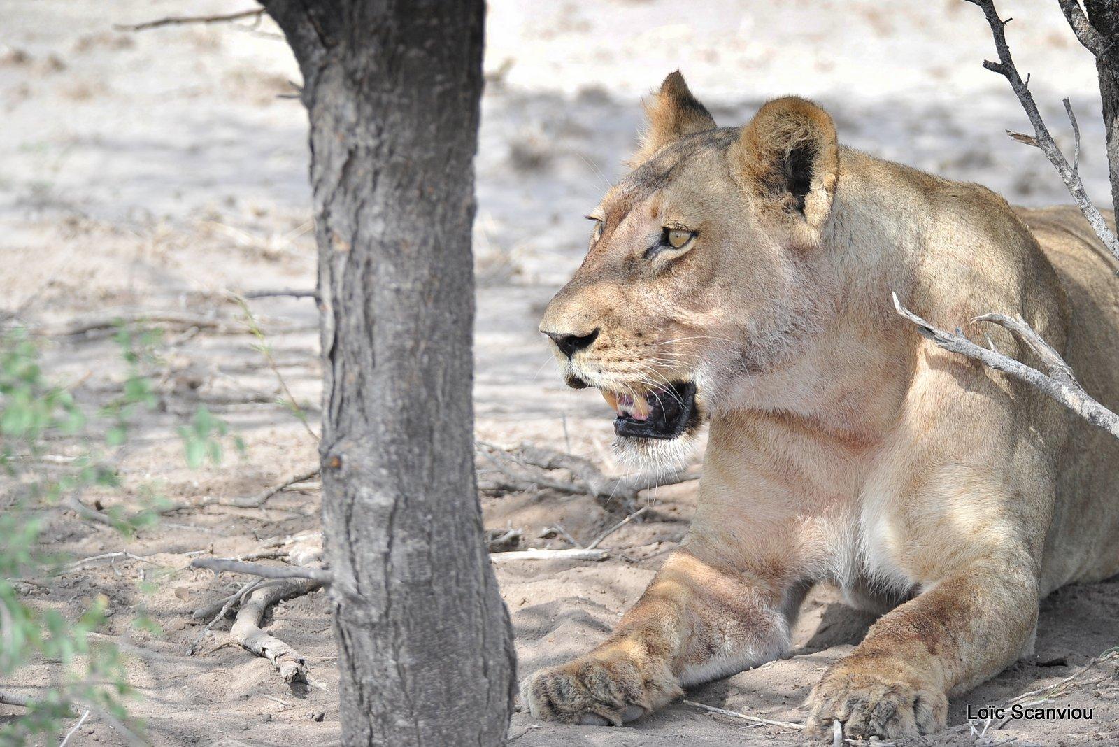 Lionne/Lioness (5)