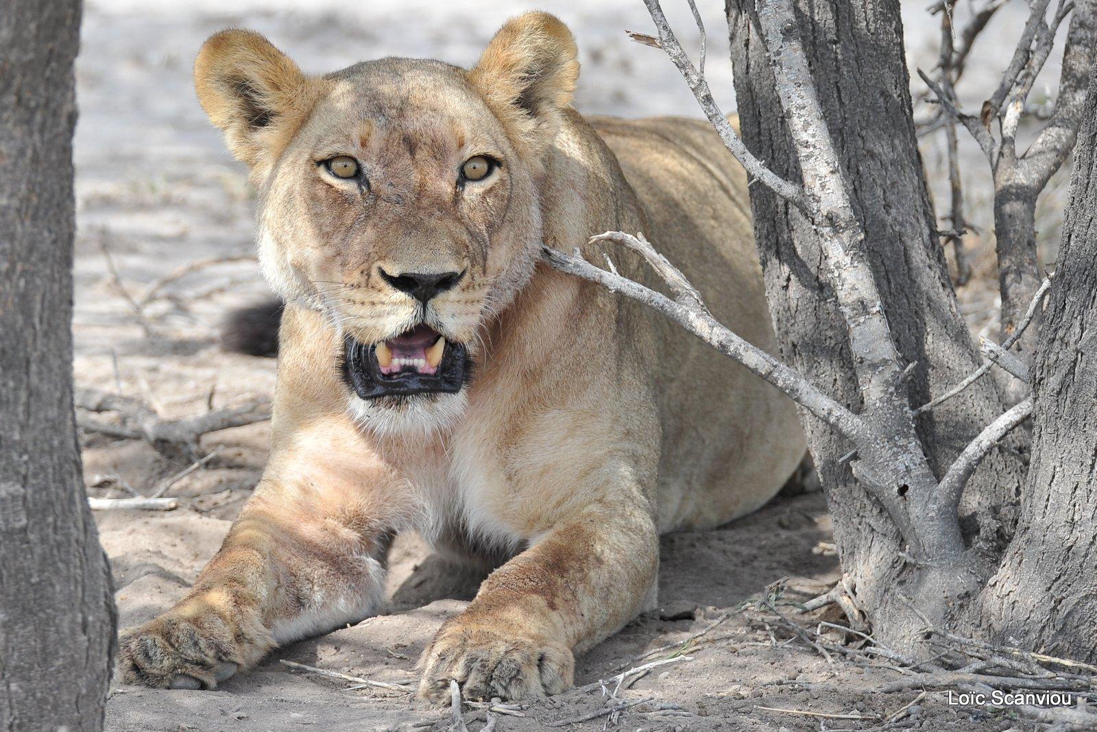 Lionne/Lioness (6)