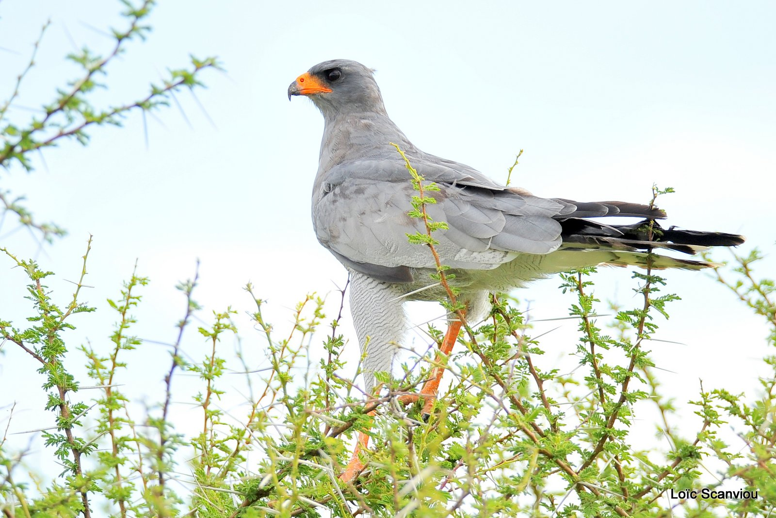 Autour chanteur/Southern Pale Chanting Goshawk (1)