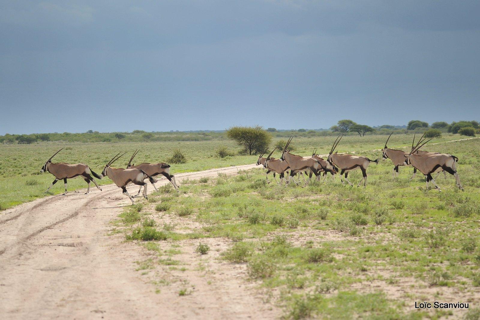 Oryx gazelle/Gemsbok (21)