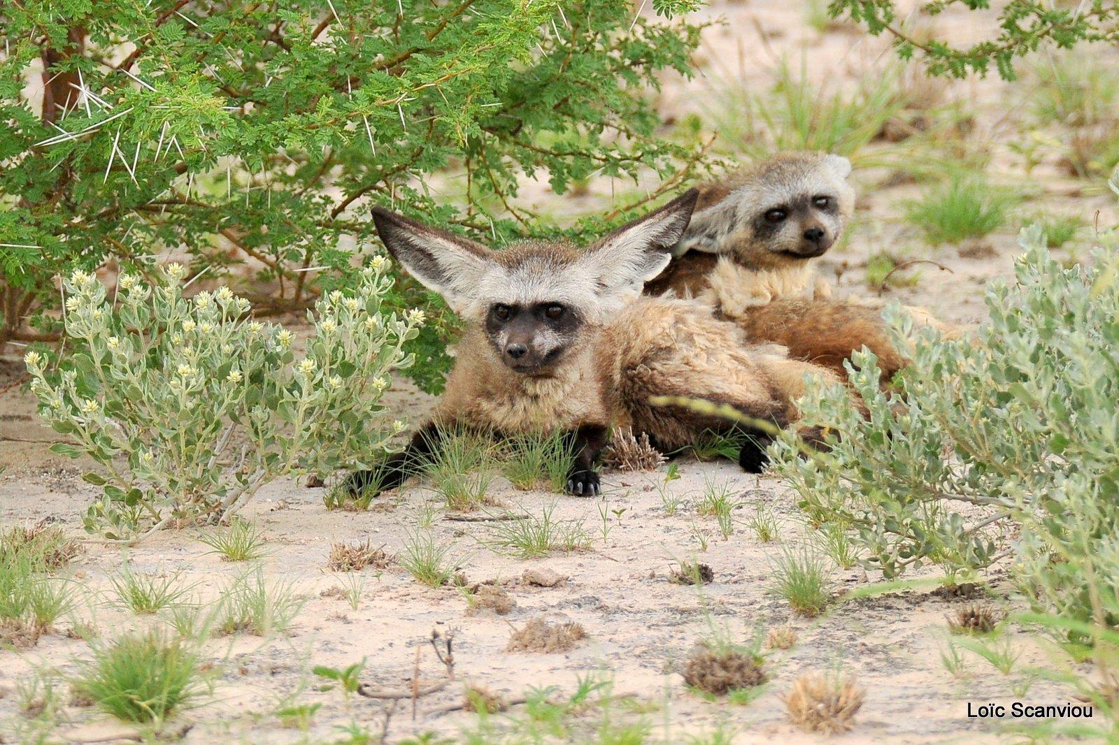 Otocyon/Bat-eared Fox (1)