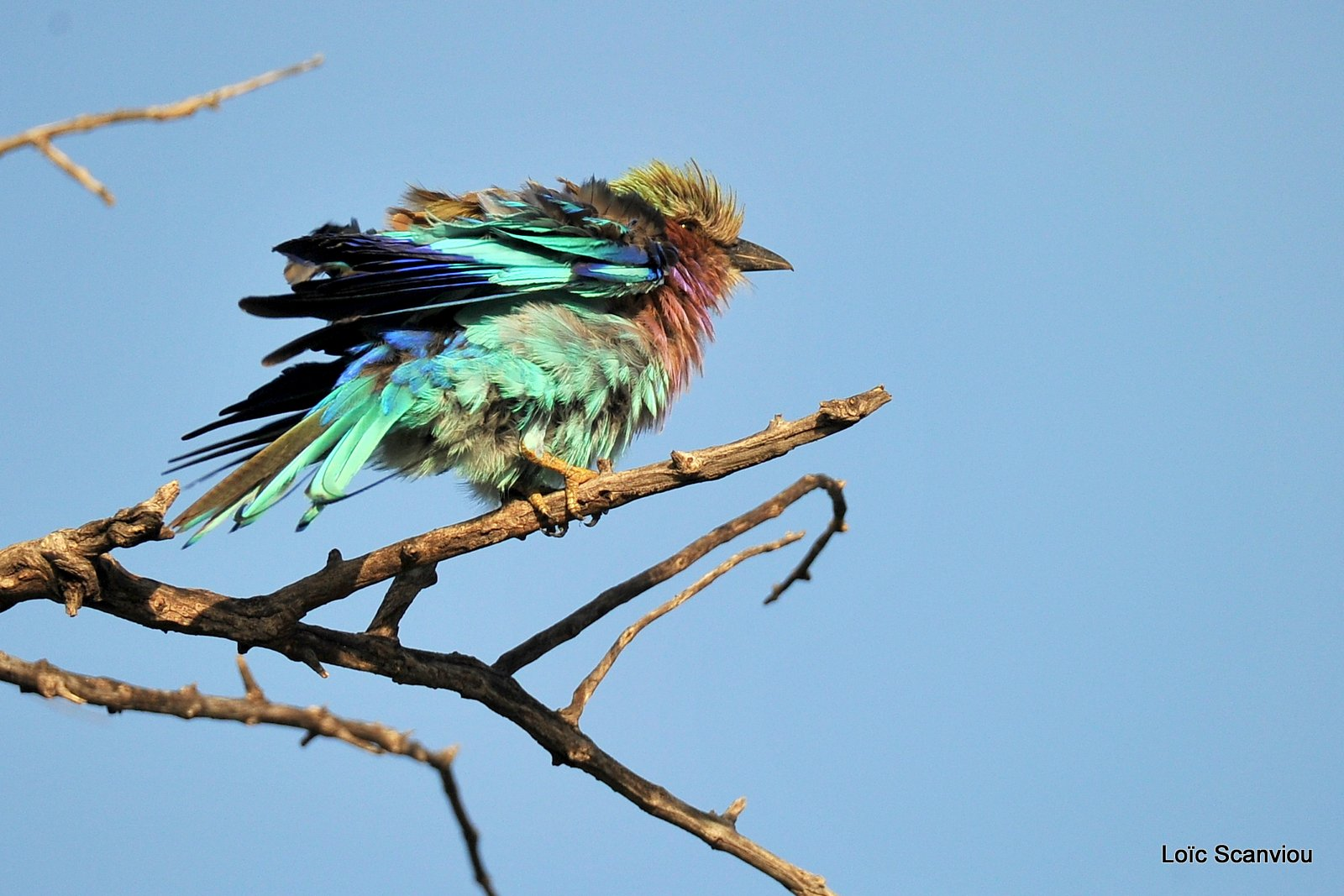 Rollier à longs brins/Lilac-Breasted Roller (2)