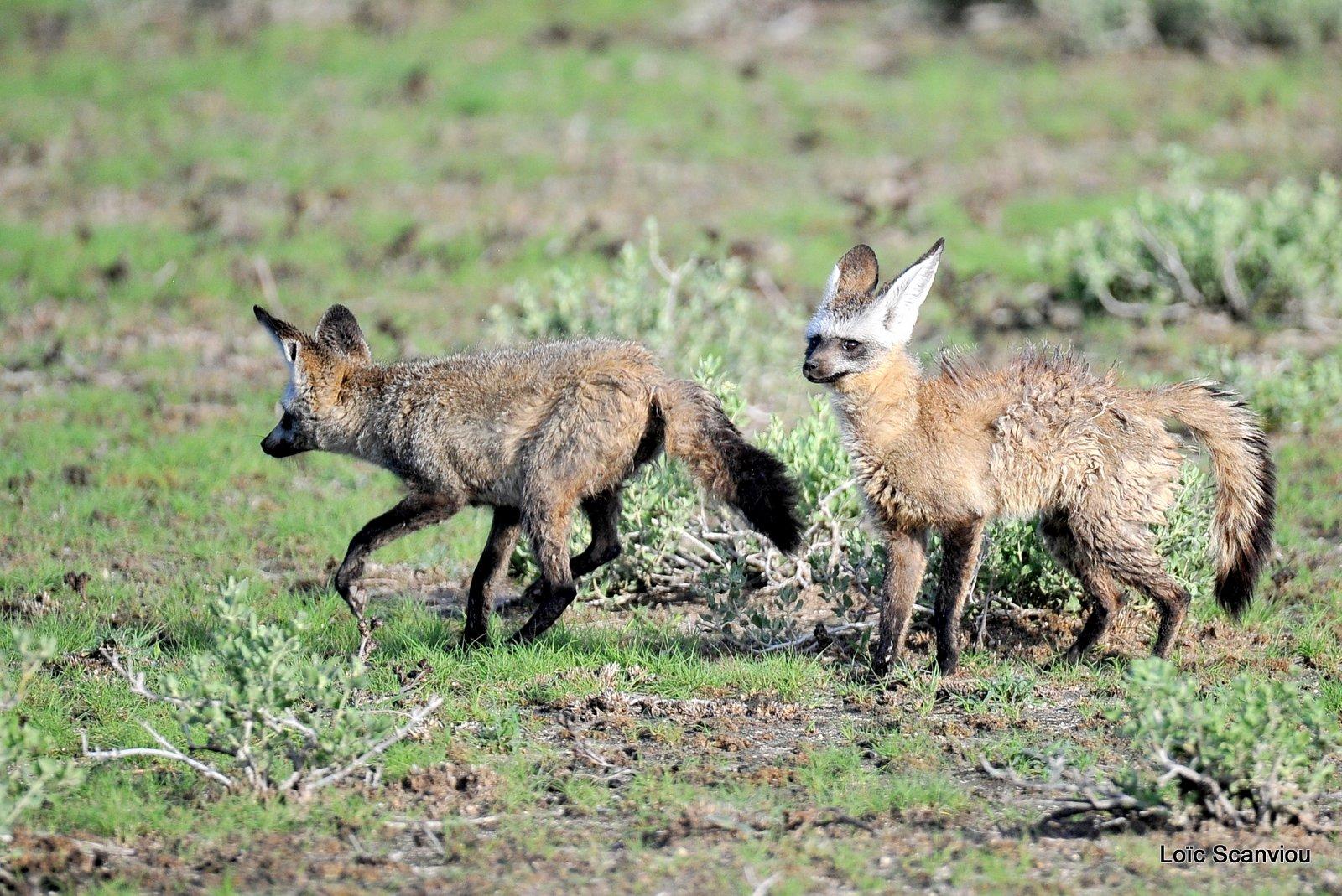 Otocyon/Bat-eared Fox (3)