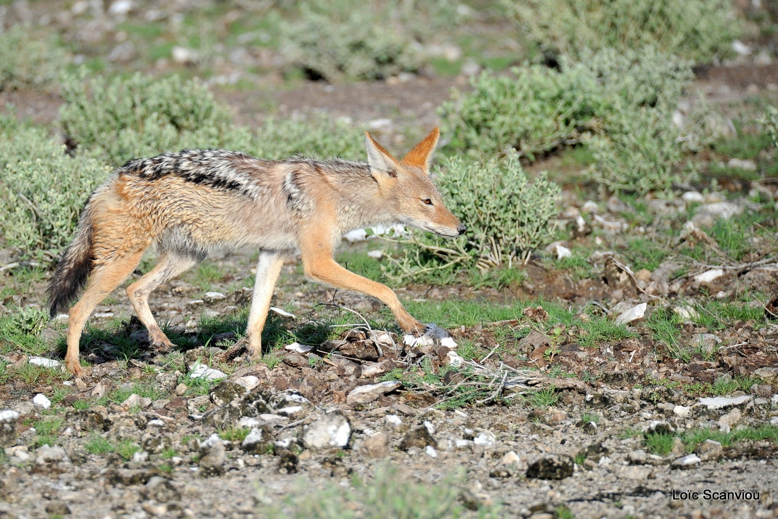 Chacal à chabraque/Black-backed Jackal (2)