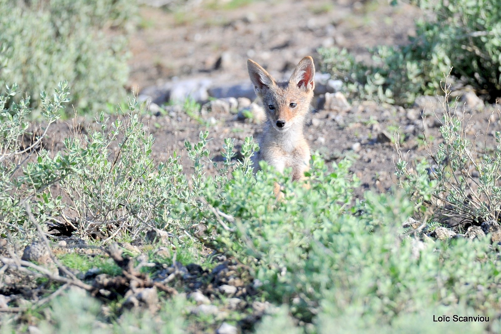 Chacal à chabraque/Black-backed Jackal (5)