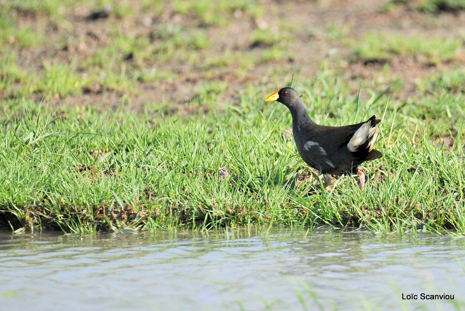 Gallinule africaine/Lesser Moorhen (1)
