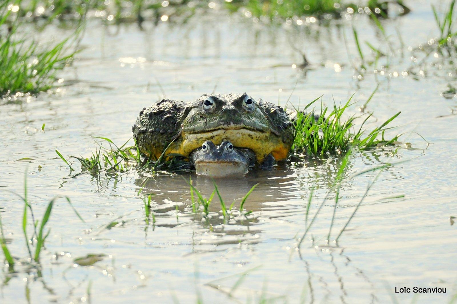 Grenouille taureau africaine/African Bullfrog (4)