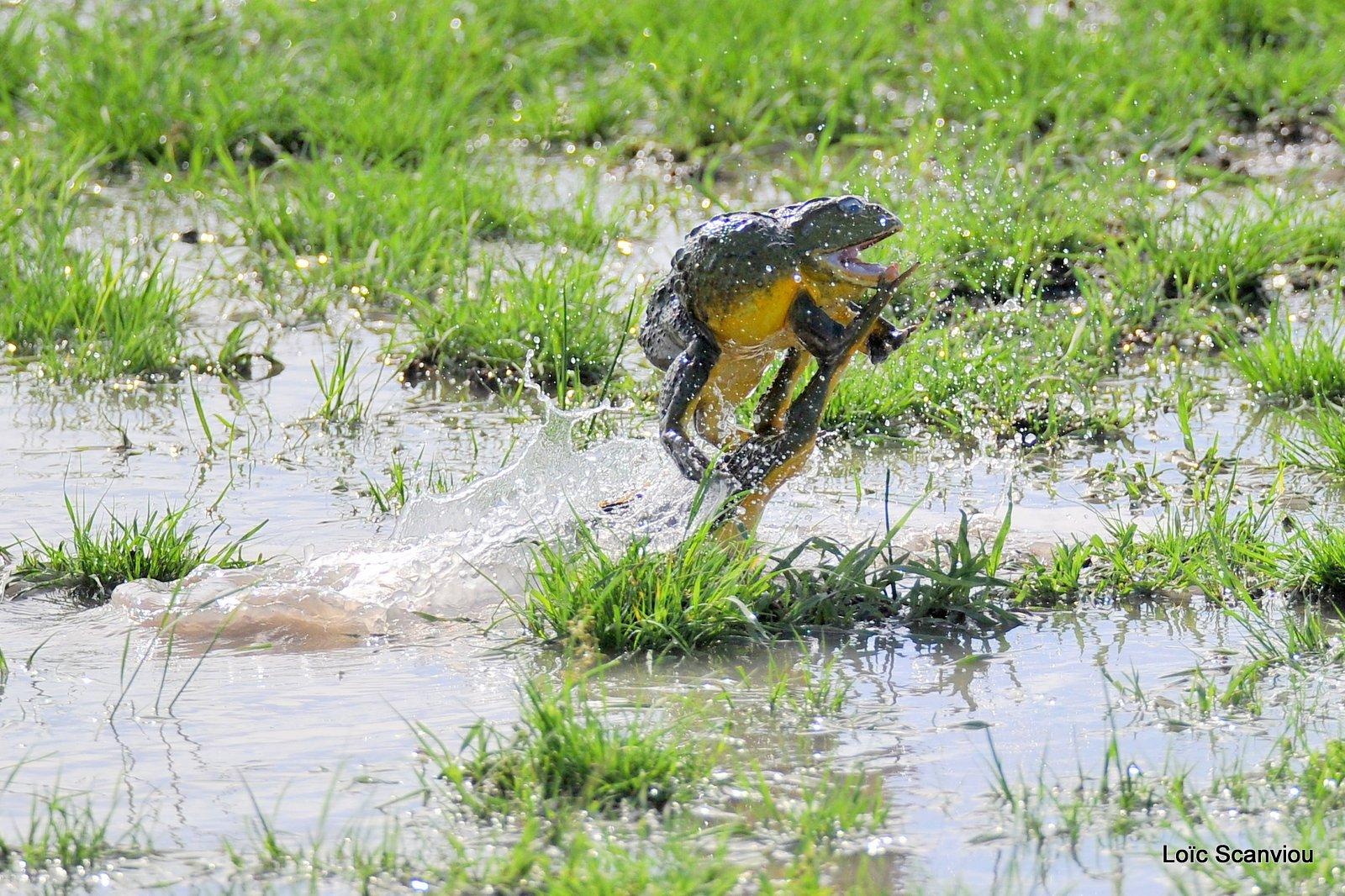 Grenouille taureau africaine/African Bullfrog (6)