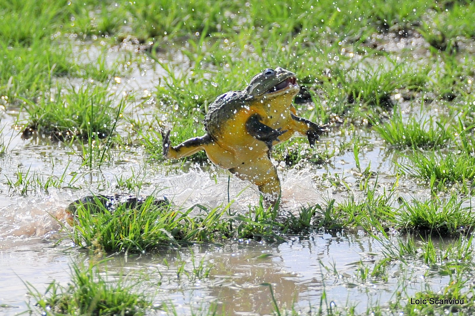 Grenouille taureau africaine/African Bullfrog (7)