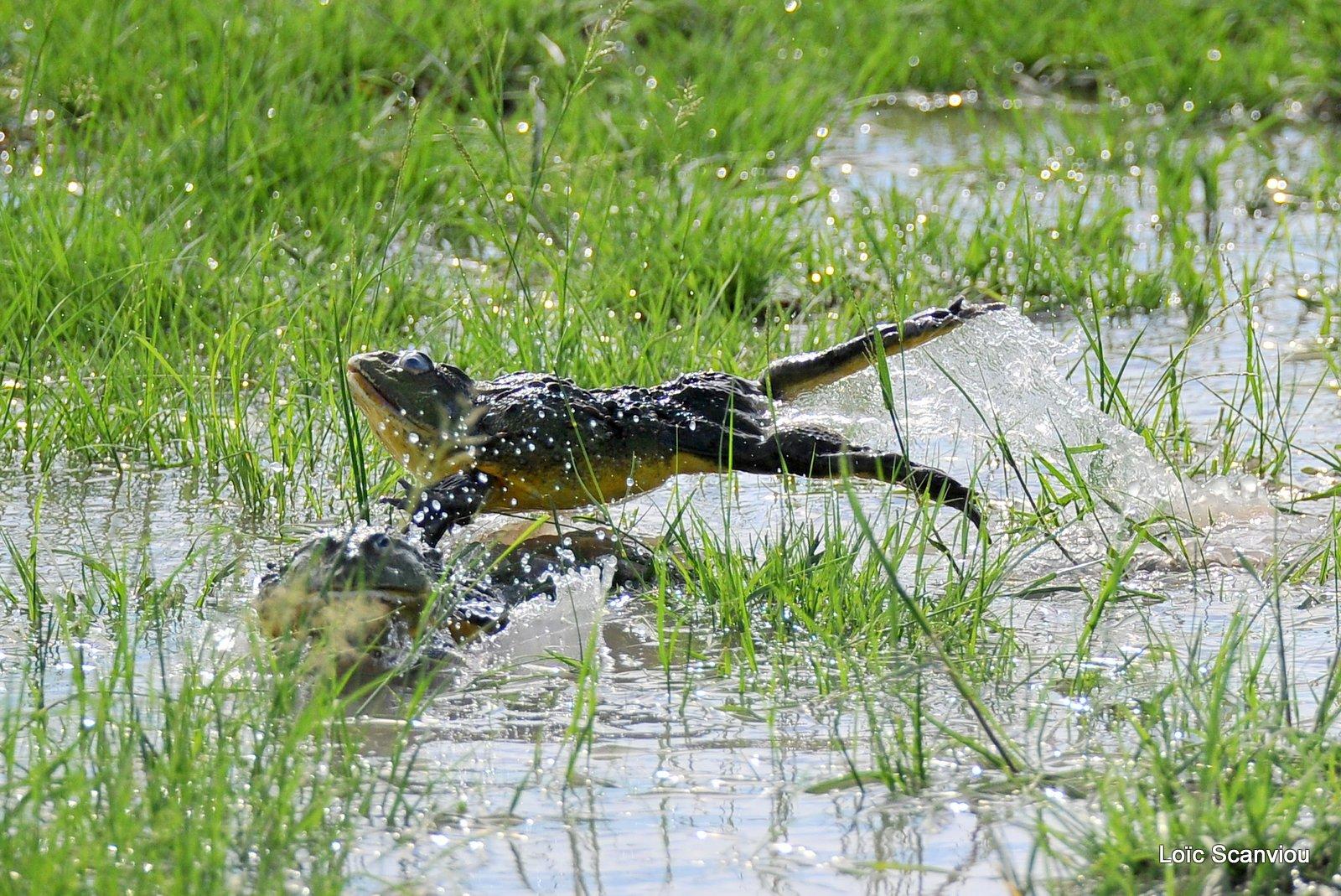 Grenouille taureau africaine/African Bullfrog (8)