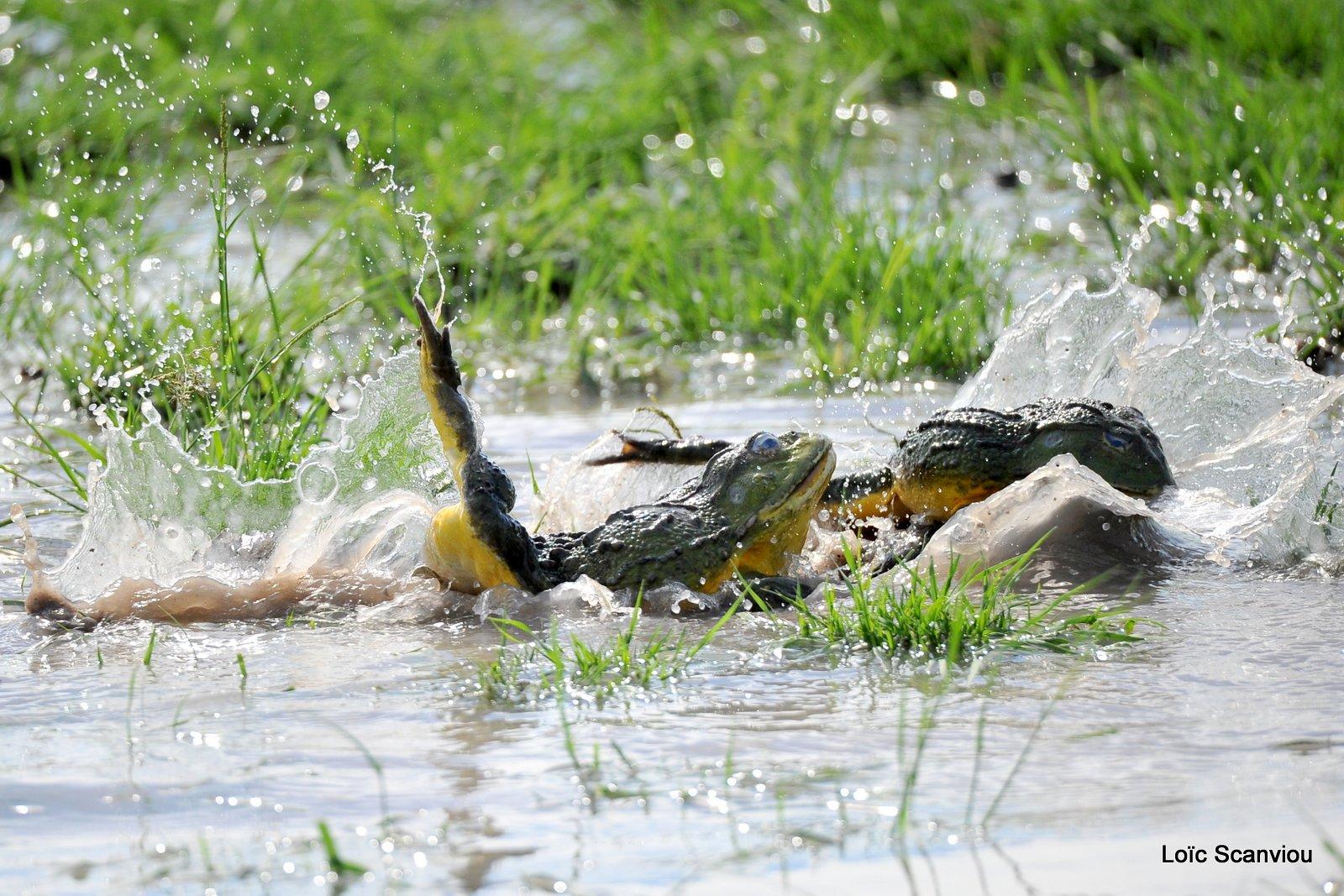 Grenouille taureau africaine/African Bullfrog (9)