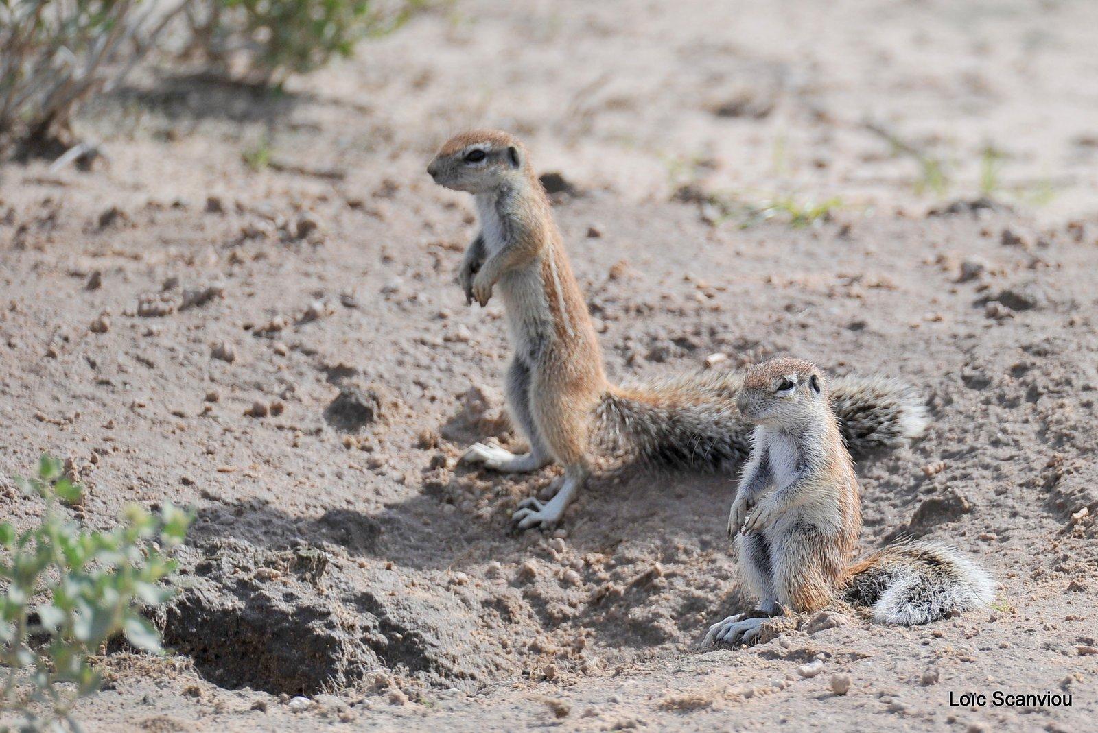 Écureuil terrestre du Cap/Cape Ground Squirrel (1)