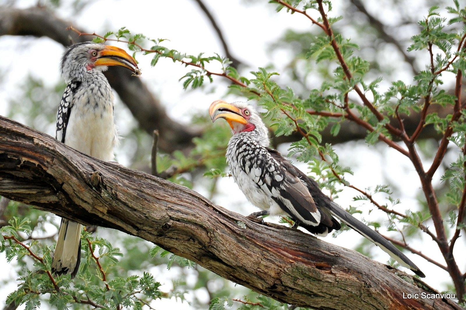 Calao leucomèle/Southern Yellow-billed Hornbill (1)