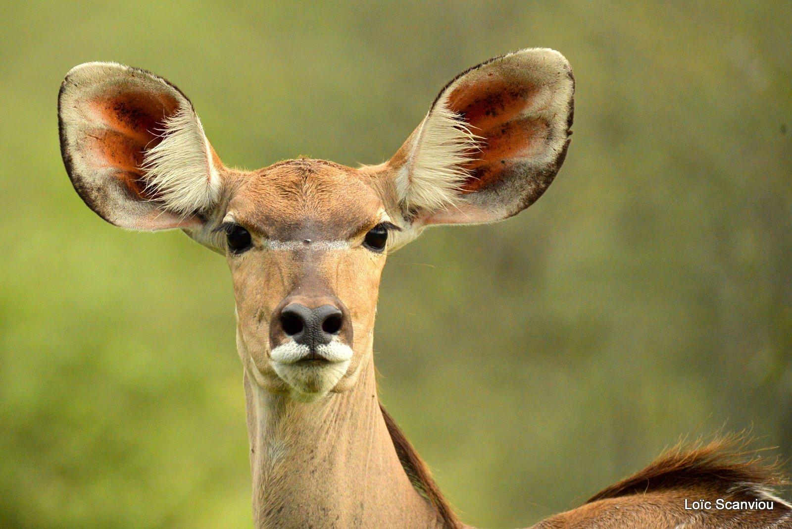 Grand koudou/Greater Kudu (2)