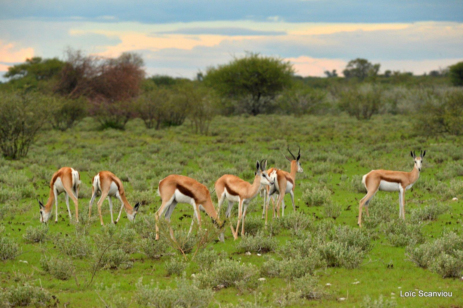 Springbok (2)
