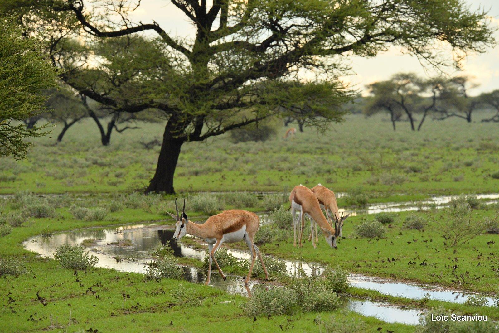 Springbok (3)