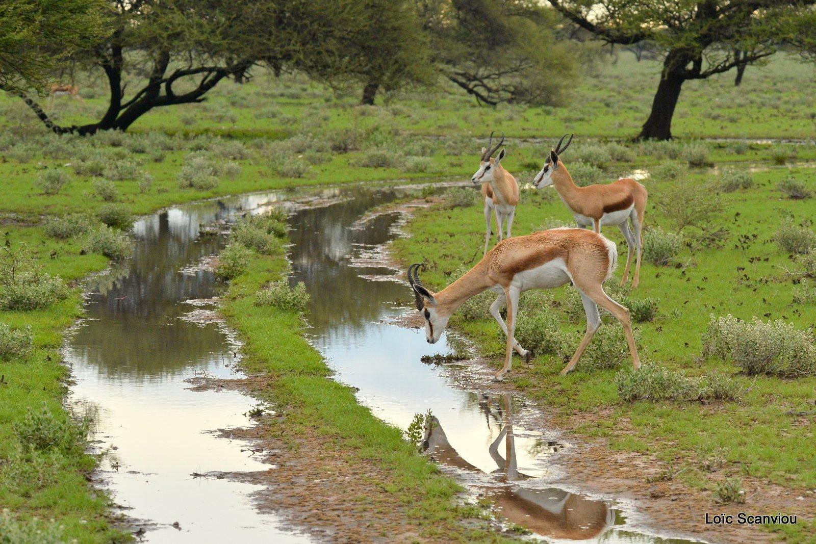 Springbok (5)