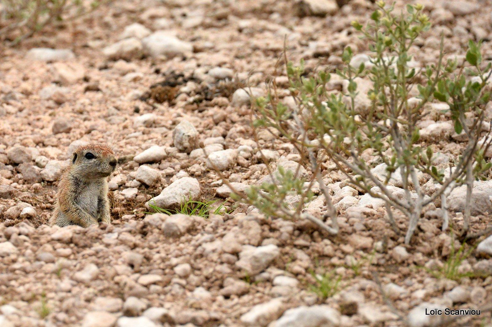 Écureuil terrestre du Cap/Cape Ground Squirrel (2)