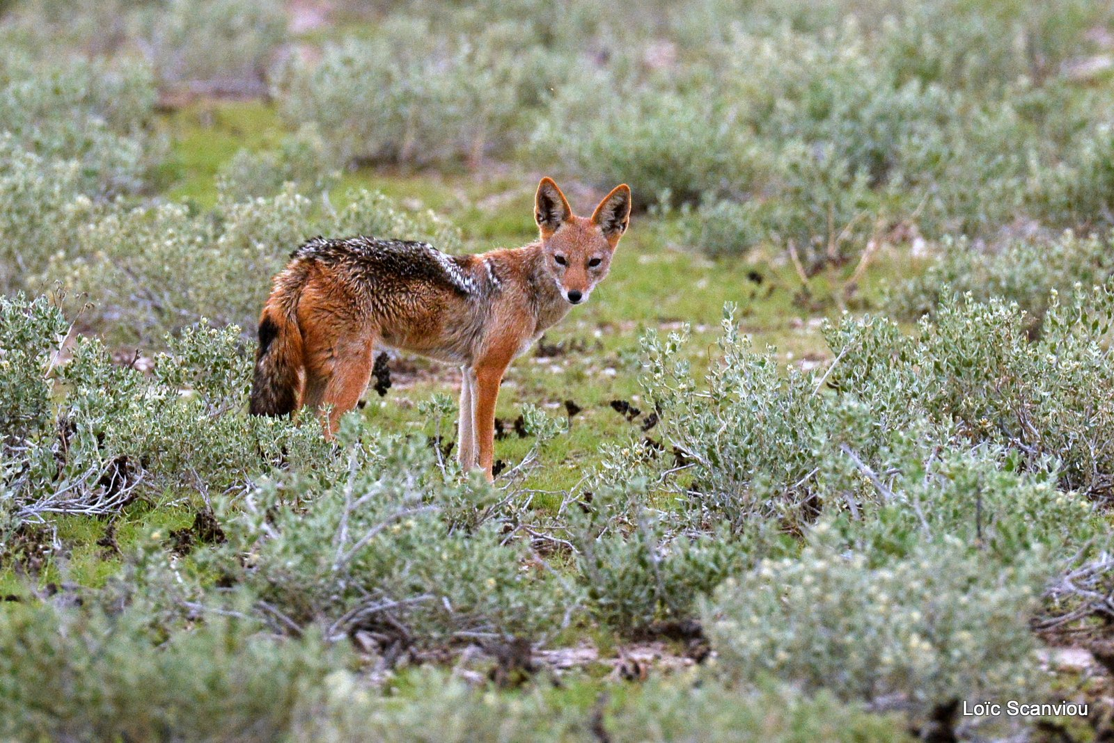 Chacal à chabraque/Black-backed Jackal (6)