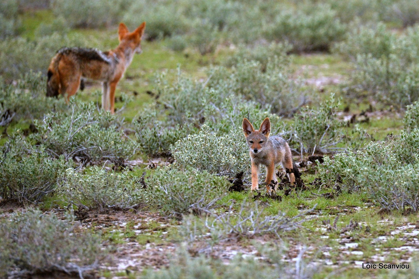 Chacal à chabraque/Black-backed Jackal (7)