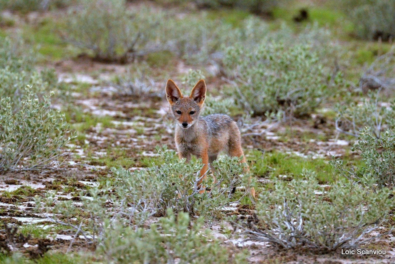 Chacal à chabraque/Black-backed Jackal (8)