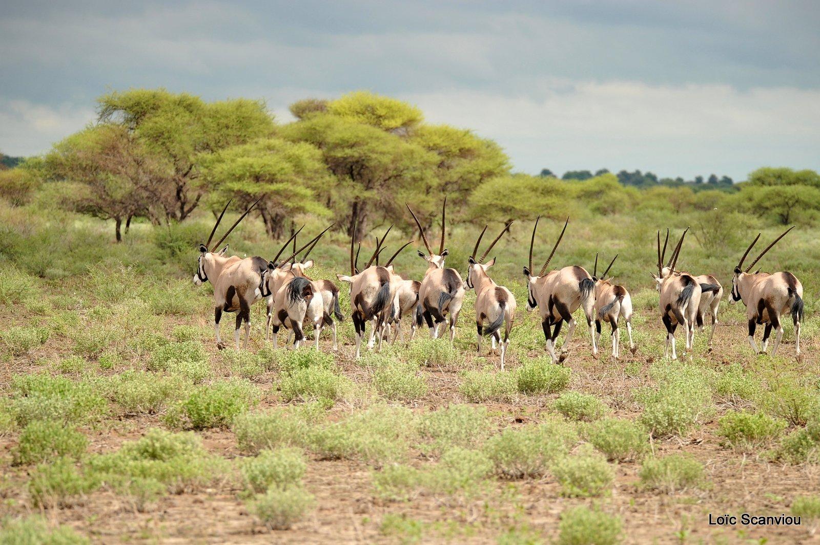 Oryx gazelle/Gemsbok (2)