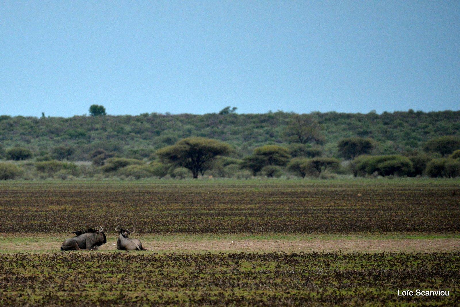 Gnou bleu/Wildebeest (2)