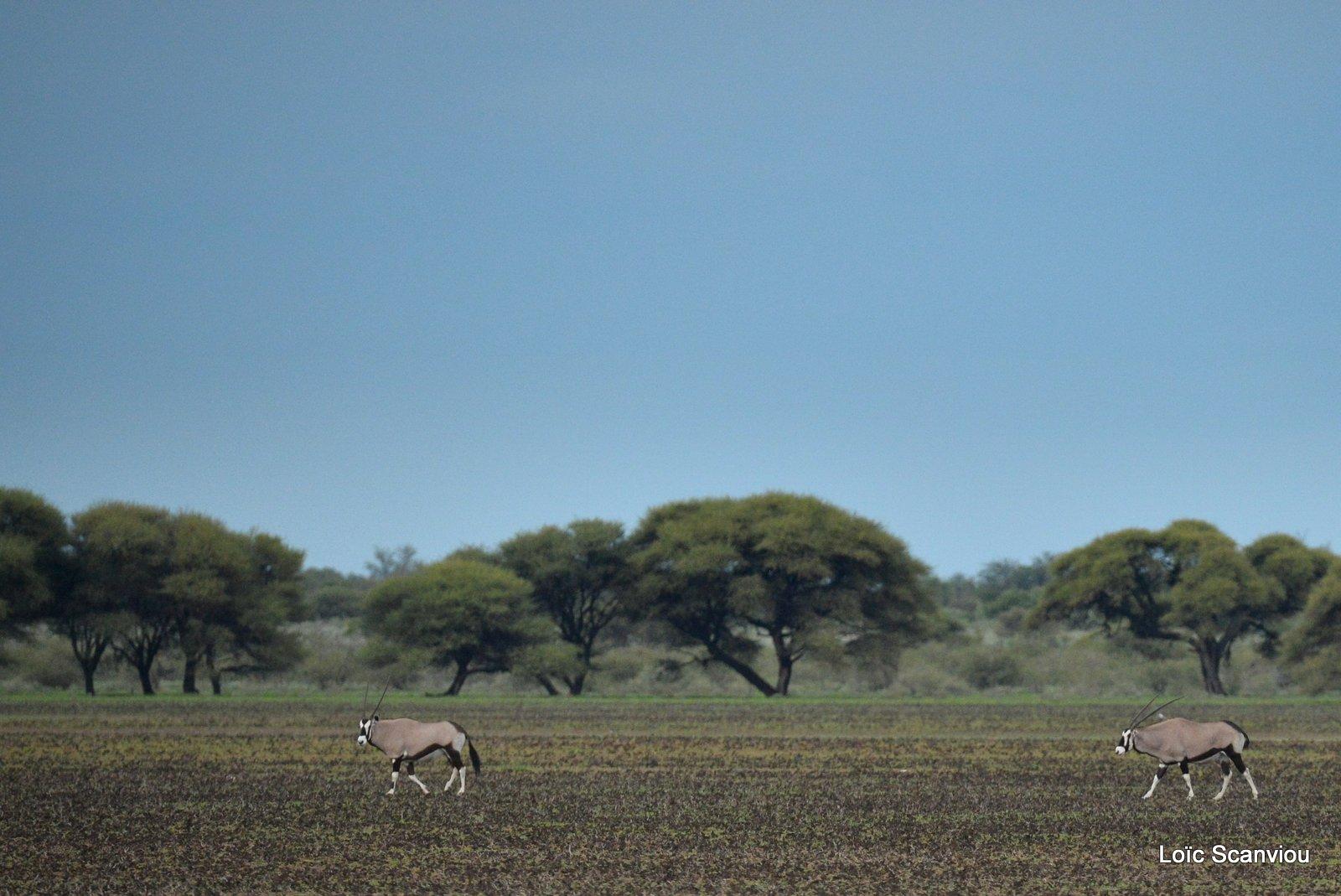 Oryx gazelle/Gemsbok (20)