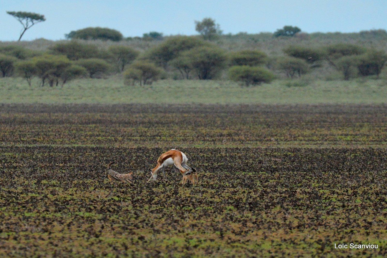 Chacals à chabraque et Springbok/Jackals and Springbok (1)